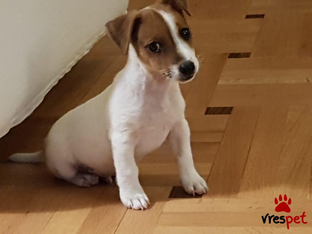 Αγγελία για σκύλο. Τζακ Ράσελ Τεριέ - Jack Russell Terrier. Αττική
