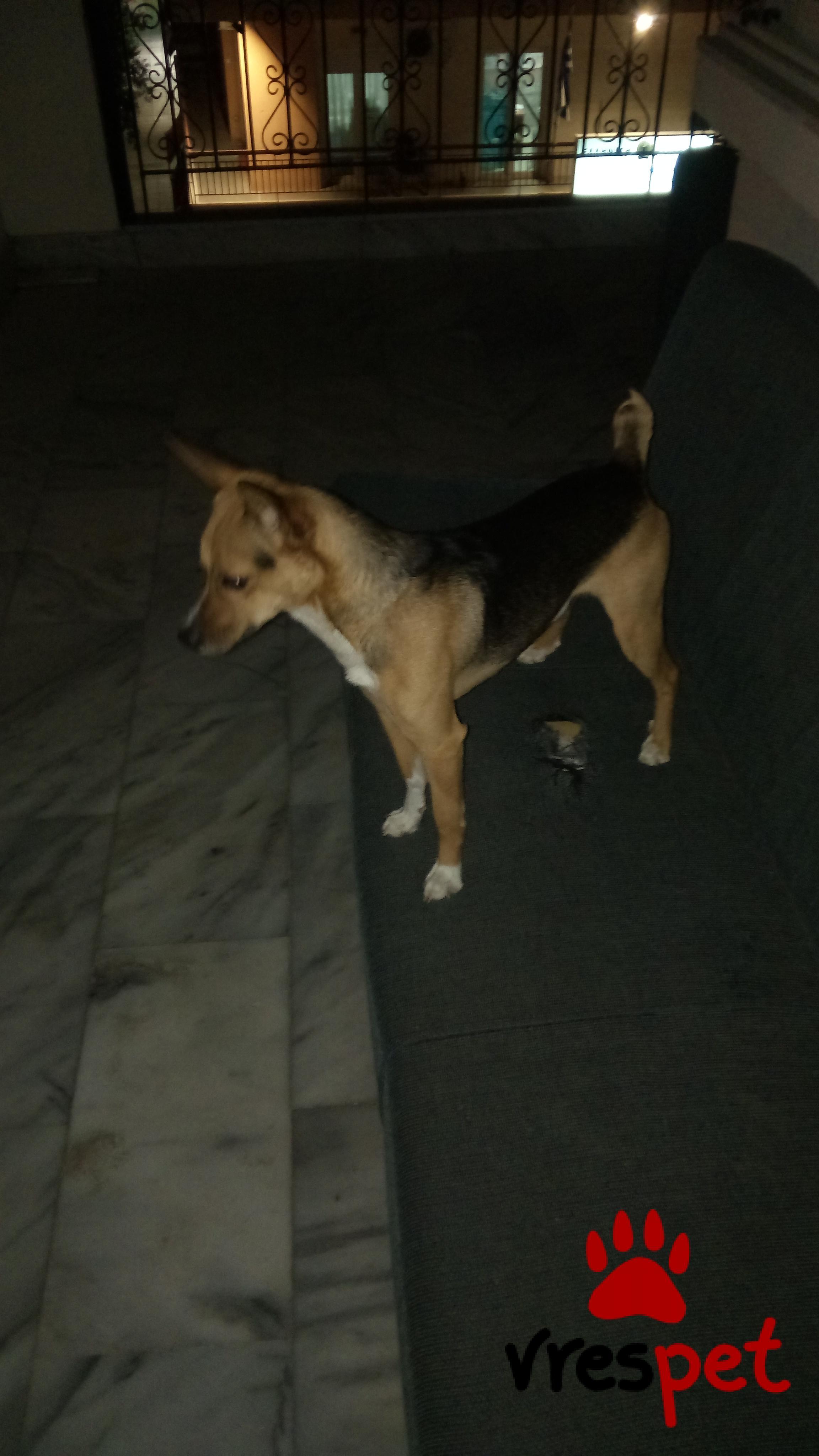 2a36a95b4046 Χαρίζεται! Αγγελία για σκύλο. Άγνωστο - Ημίαιμο Ημίαιμο. Ελευθέριο  Κορδελιό