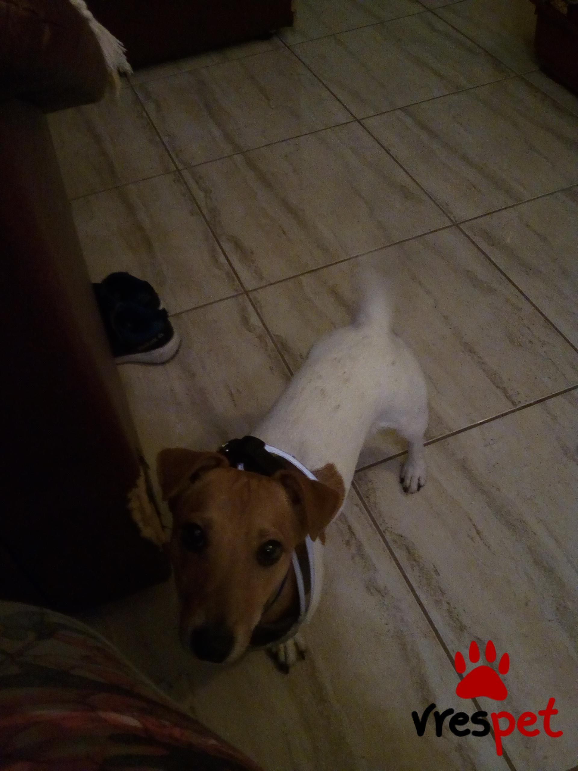 ef54f4fc6724 Αγγελία για σκύλο. Τζακ Ράσελ Τεριέ - Jack Russell Terrier ...