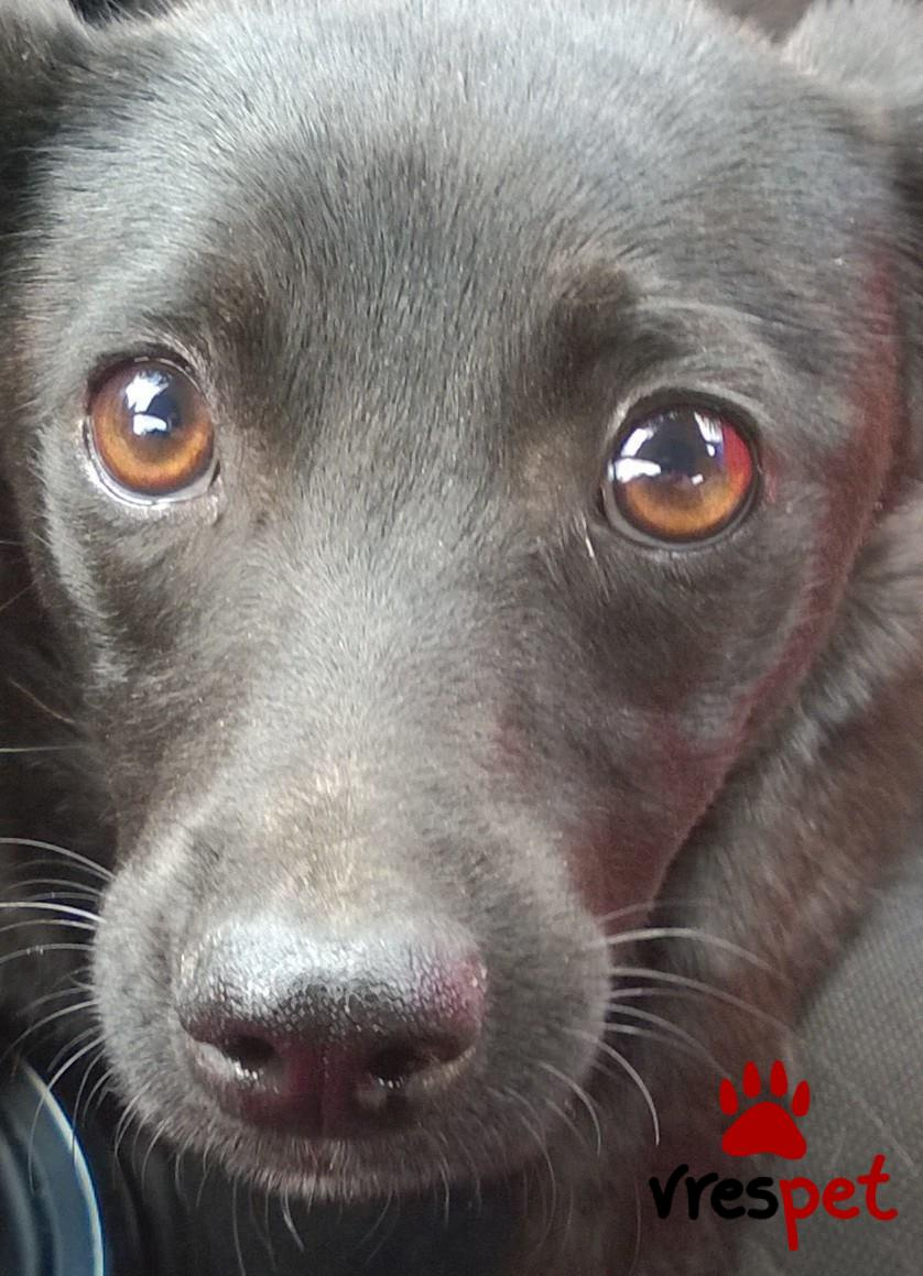 a46432861dc9 Χαρίζεται! Αγγελία για σκύλο. Πίντσερ - Pinscher Ημίαιμο. Νίκαια
