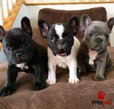 c3e22f4cb2b5 Αγγελία για σκύλο. Γαλλικό Μπουλντόγκ - Bulldog. Αττική